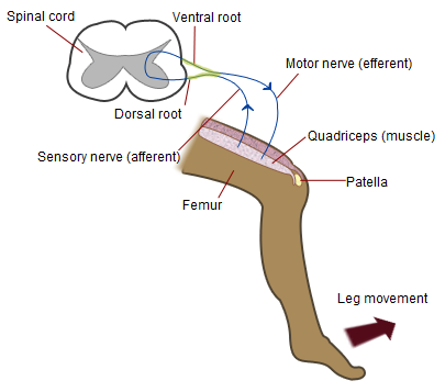 Patellar-knee-reflex